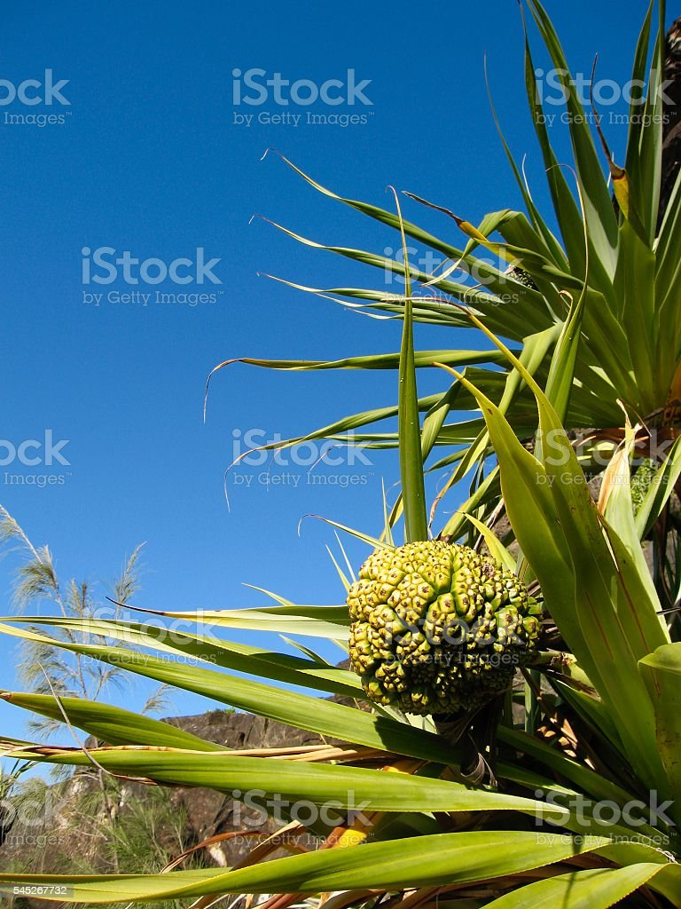Pandanus Fruit, Palm Tree stock photo