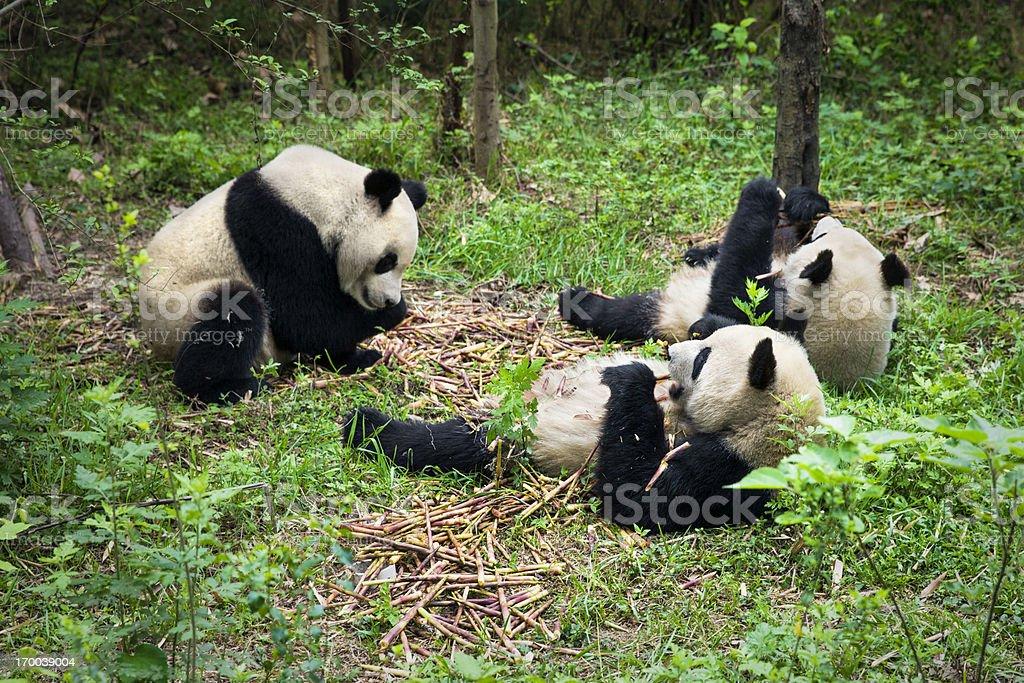 Pandas eating royalty-free stock photo