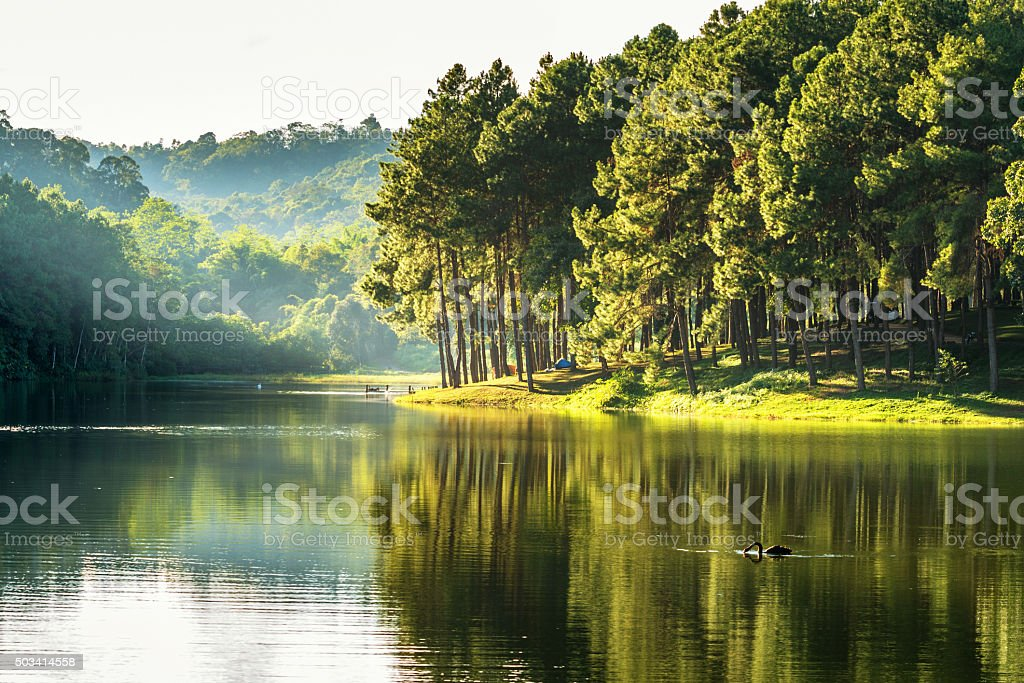 pang ung , reflection of pine tree and swan in a lake , meahongson ,...