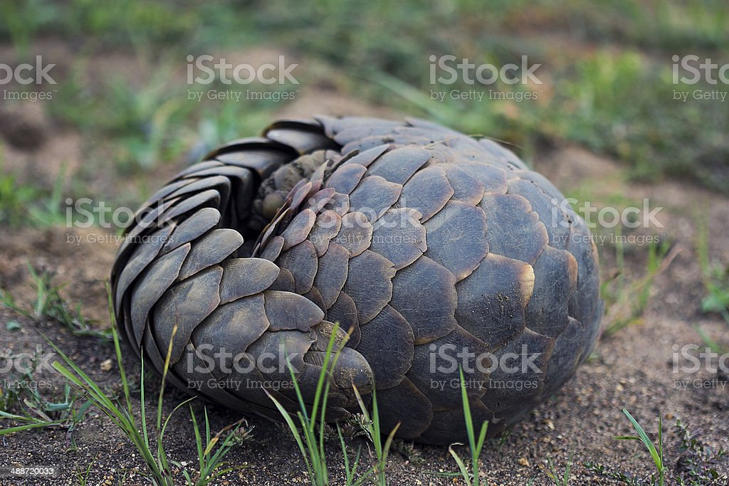 Pangolin Curled Up stock photo