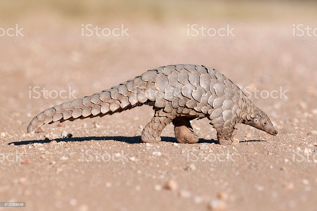 Pangolin hunting for ants. stock photo
