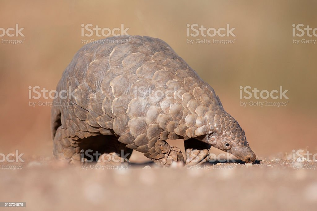 Pangolin searching for ants stock photo