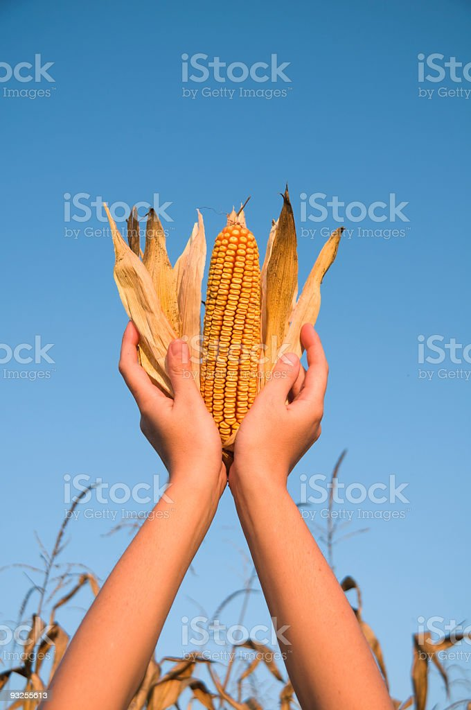 Panicle in my hand royalty-free stock photo