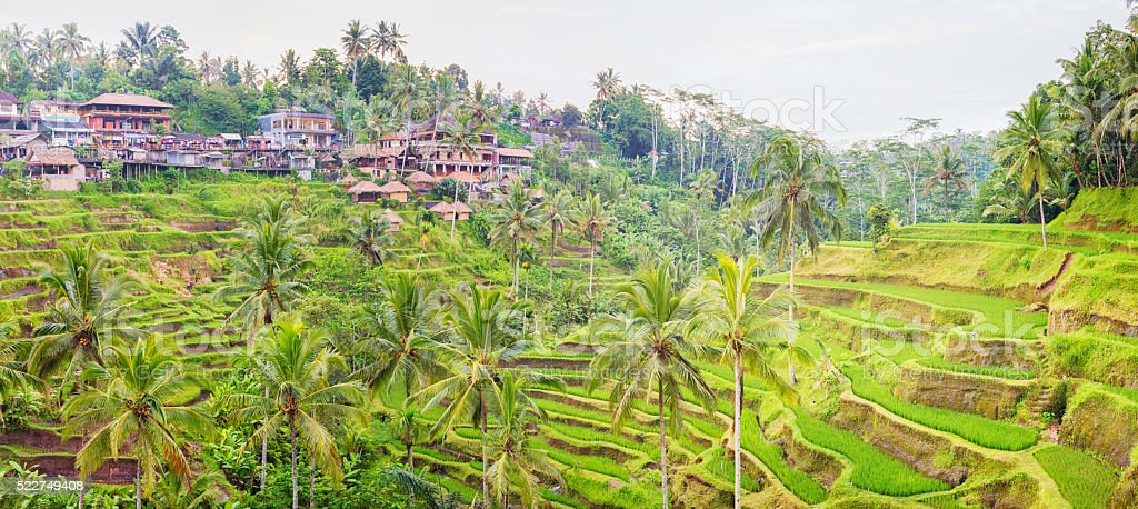 Panorama Bali terraced rice paddy with Tegalalang village stock photo