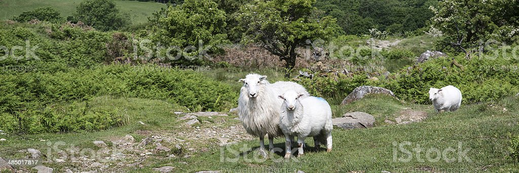 Panorama landscape of sheep in lush countryside stock photo