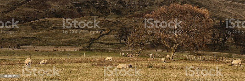 Panorama landscape sheep grazing in sunlight in Fall stock photo