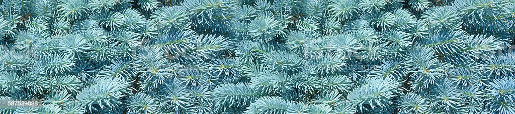 panorama natural background branch blue spruce stock photo