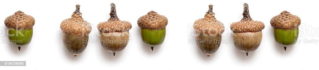 panorama oak acorn autumn stock photo