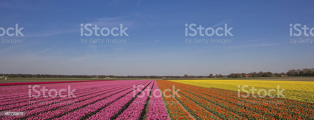 Panorama of a field of tulips in pink, orange and yellow stock photo