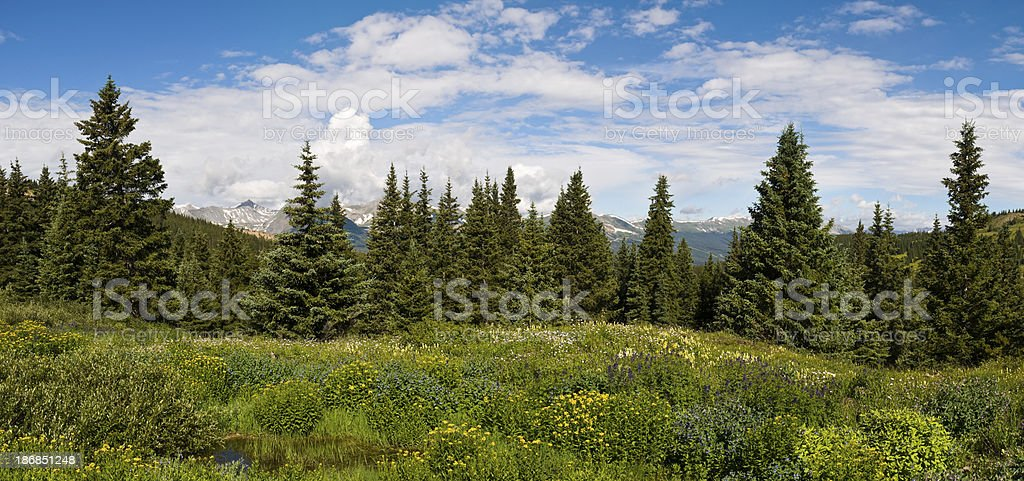 Panorama of a Pristine Pine Forest stock photo