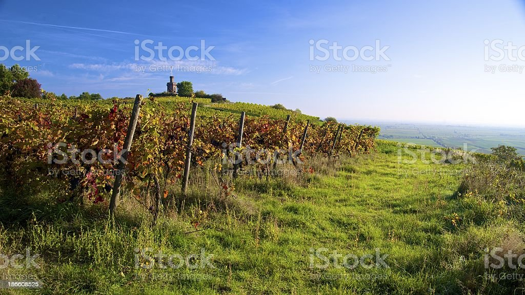 panorama of autumn colored vineyard royalty-free stock photo