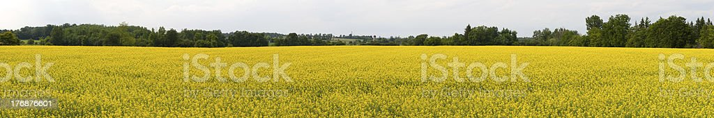 Panorama of Canola field royalty-free stock photo