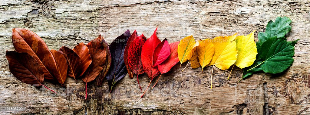 Panorama of Colorful Autumn Leaves on Wooden Background stock photo