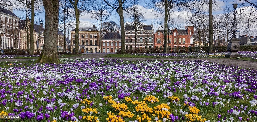 Panorama of colorful crocuses at the Ossenmarkt in Groningen stock photo