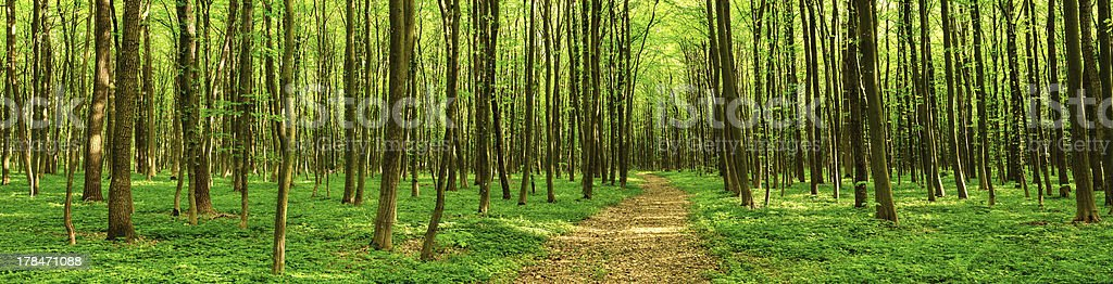 Panorama of deciduous forest stock photo
