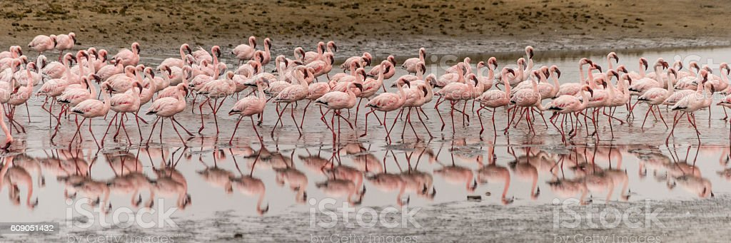 panorama of flamingos in mud flats reflecting in water stock photo