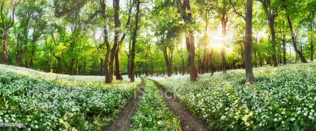 Panorama of Forest green landscape with white flowers and path stock photo