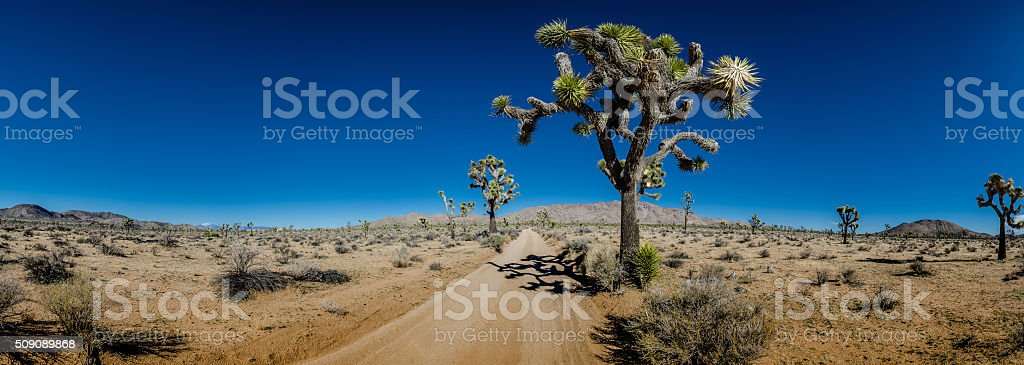 Panorama of Sandy Desert Road with Joshua Trees stock photo