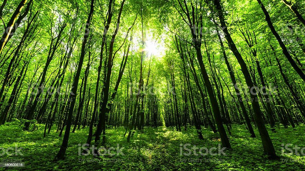 Panorama de forêt de printemps photo libre de droits