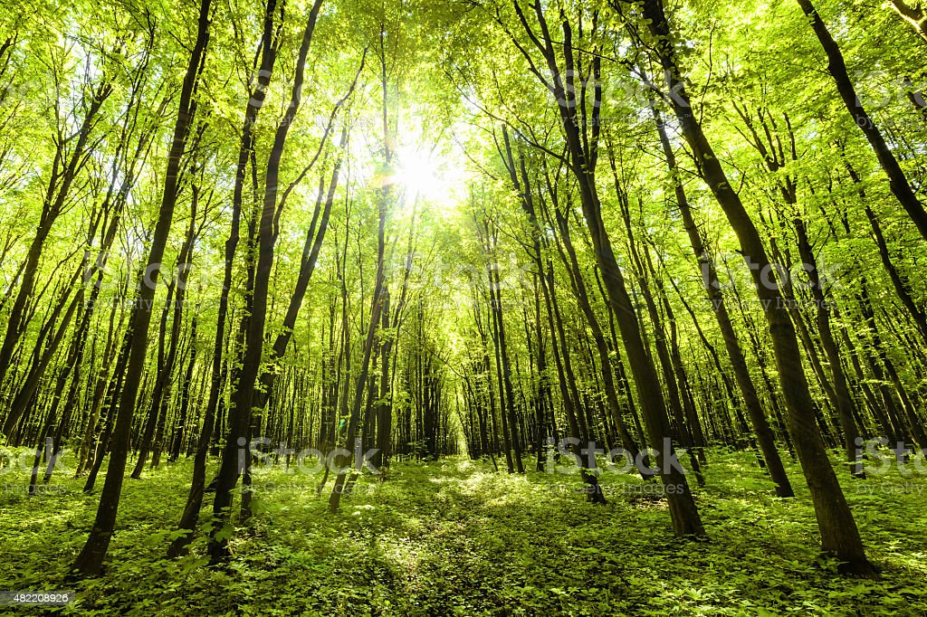 Panorama of spring forest stock photo