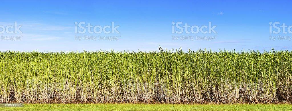 Panorama of sugar cane plantation stock photo