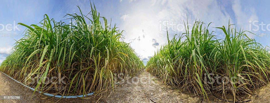 Panorama of Sugarcane stock photo