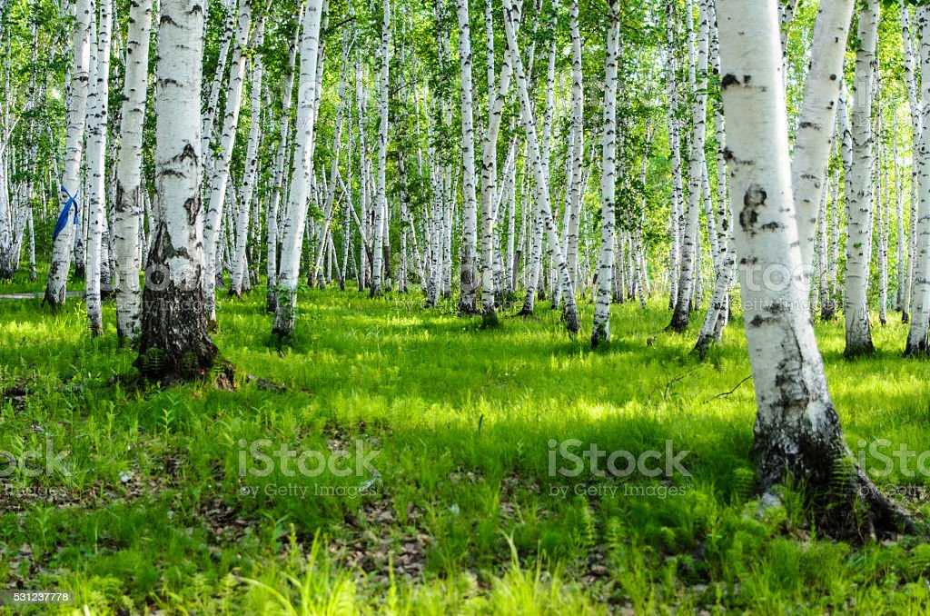 Panorama of summer forest, Mongolia stock photo
