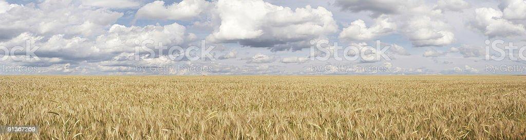 Panorama of wheat field royalty-free stock photo