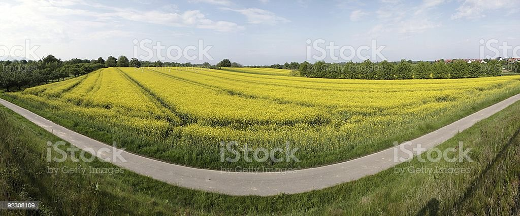 panorama of yellow rapes field stock photo
