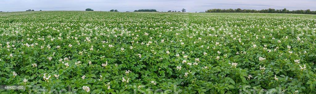 panorama potato field stock photo