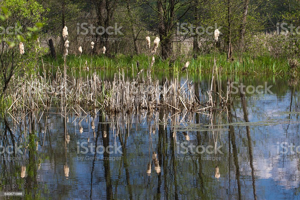 Panorama small river with reed on northern part of Ukraine stock photo