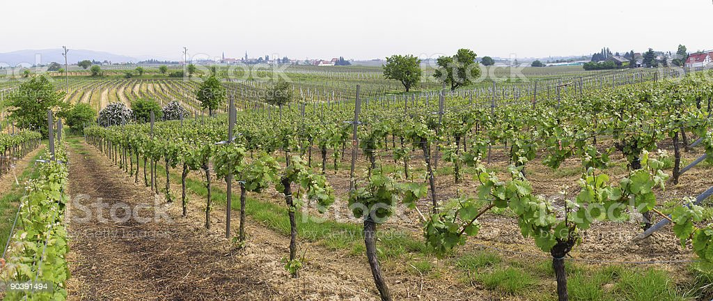 panorama wineyards in spring stock photo