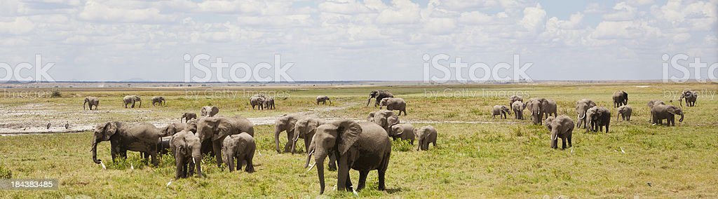 'Panorama with large heard of elephants in Amboseli gamereserve,' stock photo