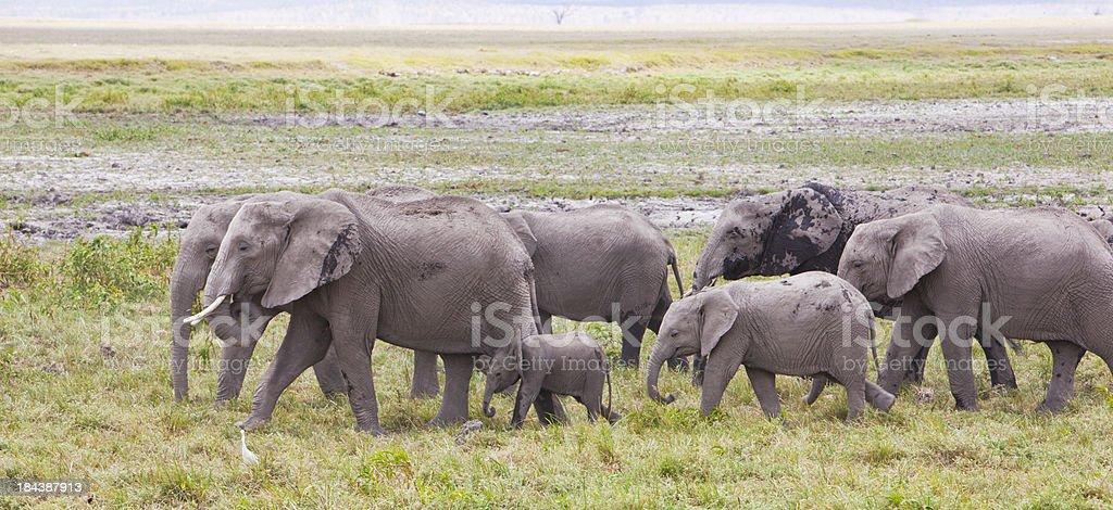 Panorama with large heard of elephants in Amboseli gamereserve, Kenya. royalty-free stock photo