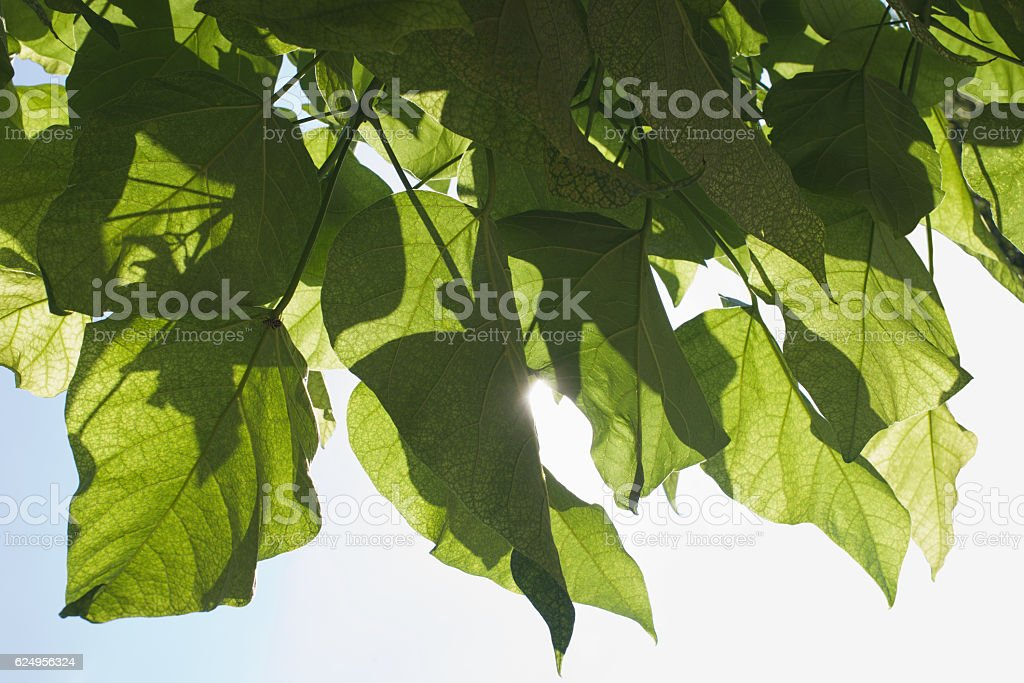 panoramic Green leaves on a light background stock photo