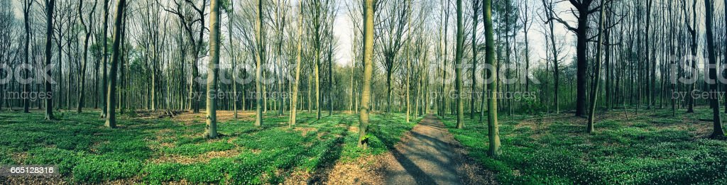 Panoramic landscape  with  footpath and wood anemones blooming in springtime in Bertembos ( Bertem Forest), a natural landscape in Vlaams Brabant, Flanders,Belgium stock photo