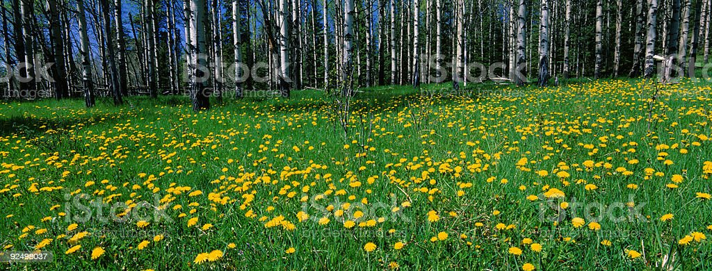 Panoramic of Aspen and Wildflowers royalty-free stock photo