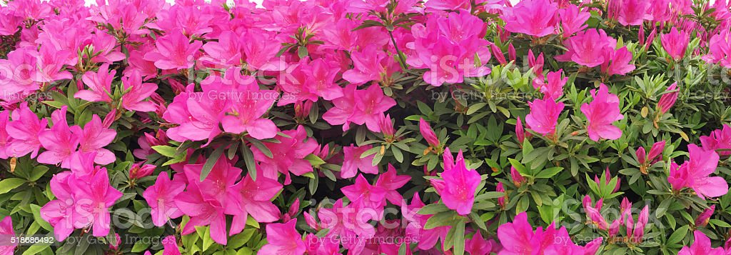 Panoramic of Dream azalea flowers in spring stock photo