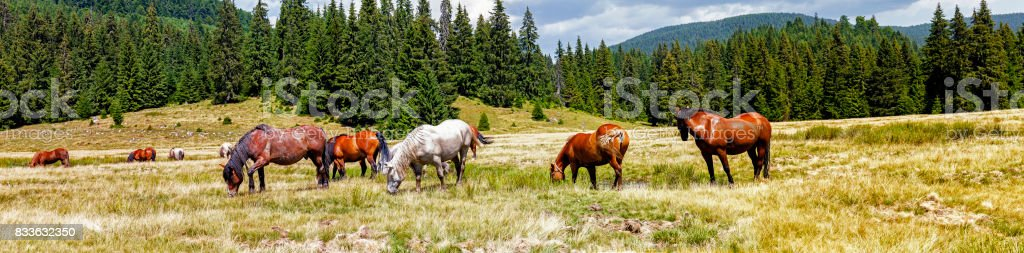 Panoramic of grazing wild horses and pasture at Padis in the Apuseni mountains of Transylvania stock photo