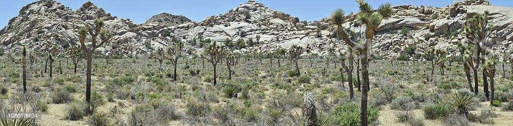 Panoramic of Joshua Trees royalty-free stock photo