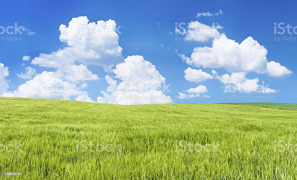 Panoramic pring landscape 73MPix XXXXL - rye, the blue sky royalty-free stock photo