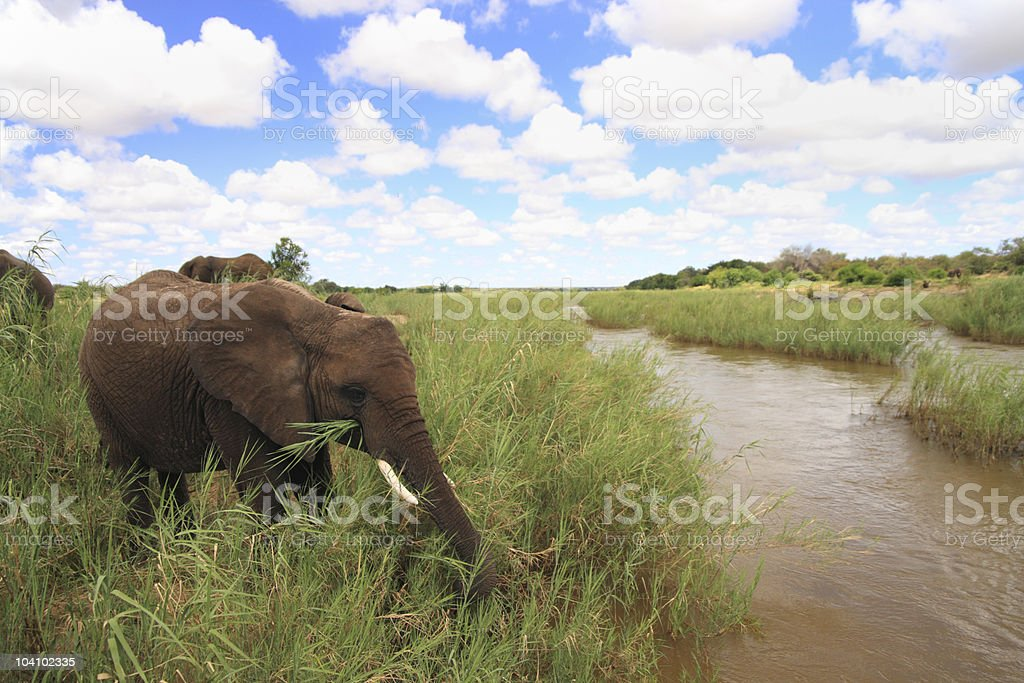 panoramic river shot with an elephant in the foreground royalty-free stock photo