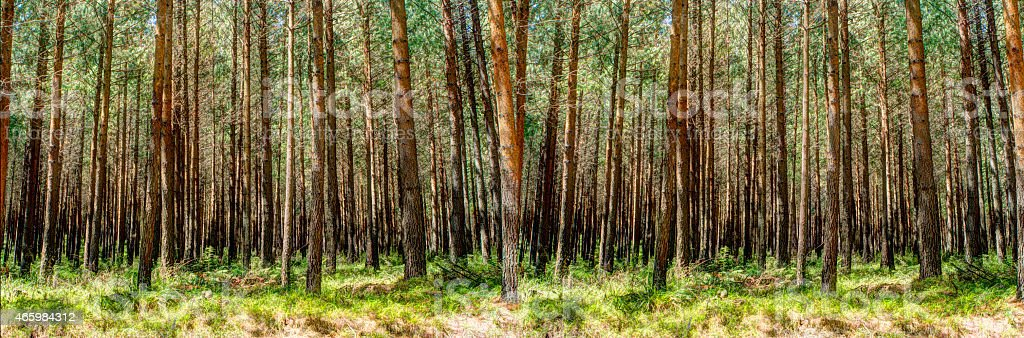 A panoramic shot of a forest with lots of trees stock photo