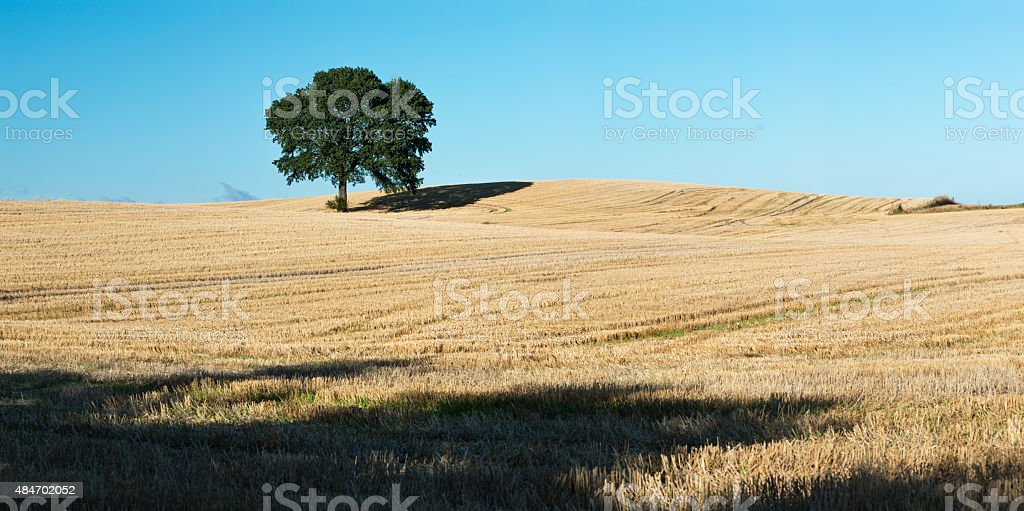 Panoramic Shot of Majestic Oak Tree Standing in a Field. stock photo