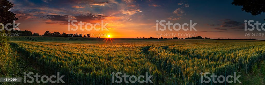 Panoramic sunset over a ripening wheat field stock photo