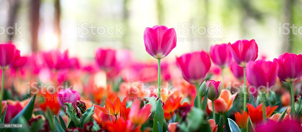 Panoramic Tulip Field stock photo