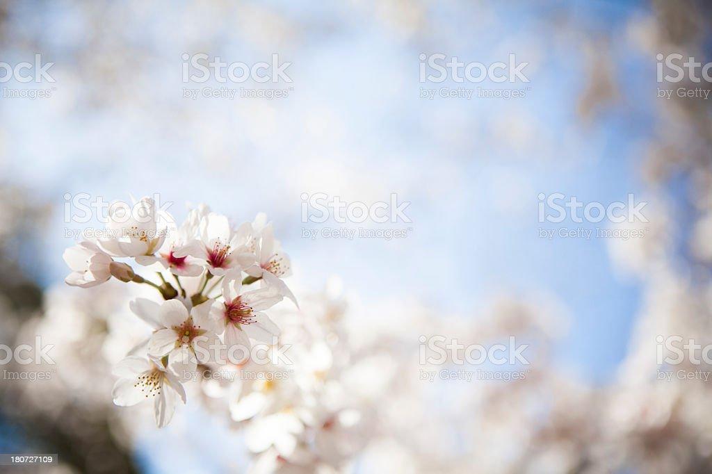 Panoramic view cherry blossom royalty-free stock photo