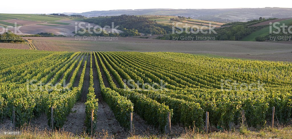 Panoramic view of a vineyard stock photo