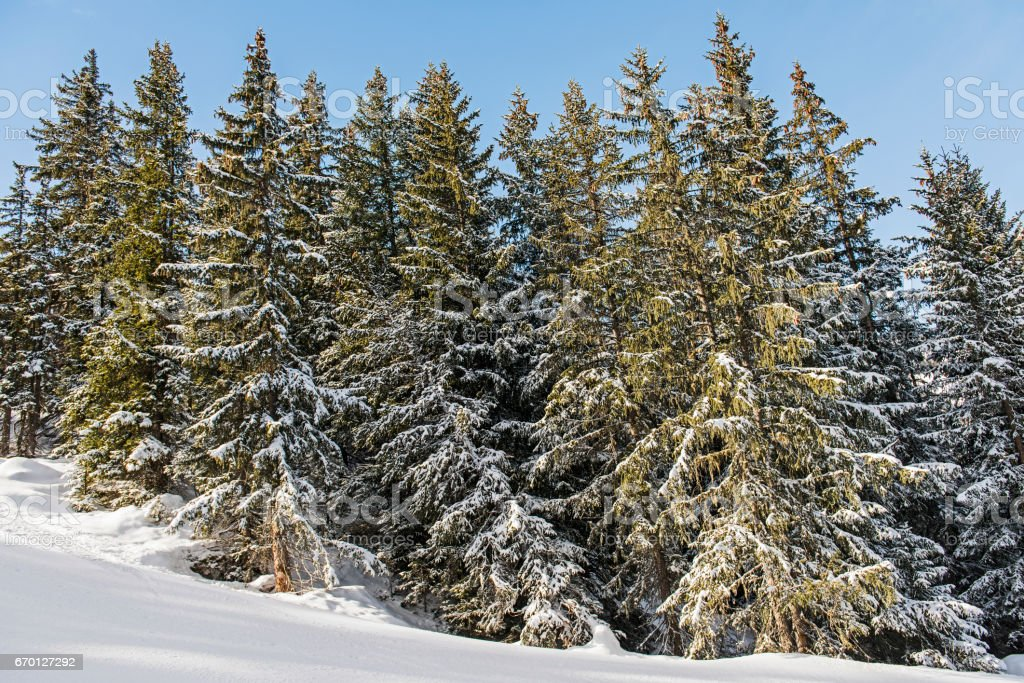Panoramic view of alpine mountain coniferous trees stock photo