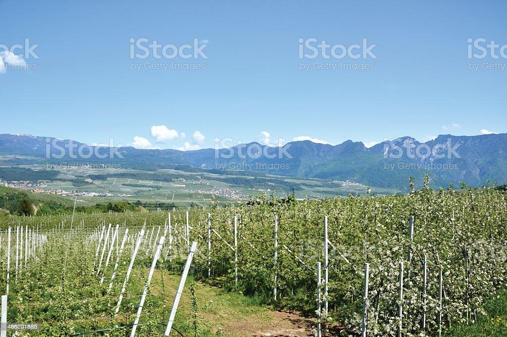 Panoramic view of apple plantation, Val di Non ,Trento, Italy stock photo